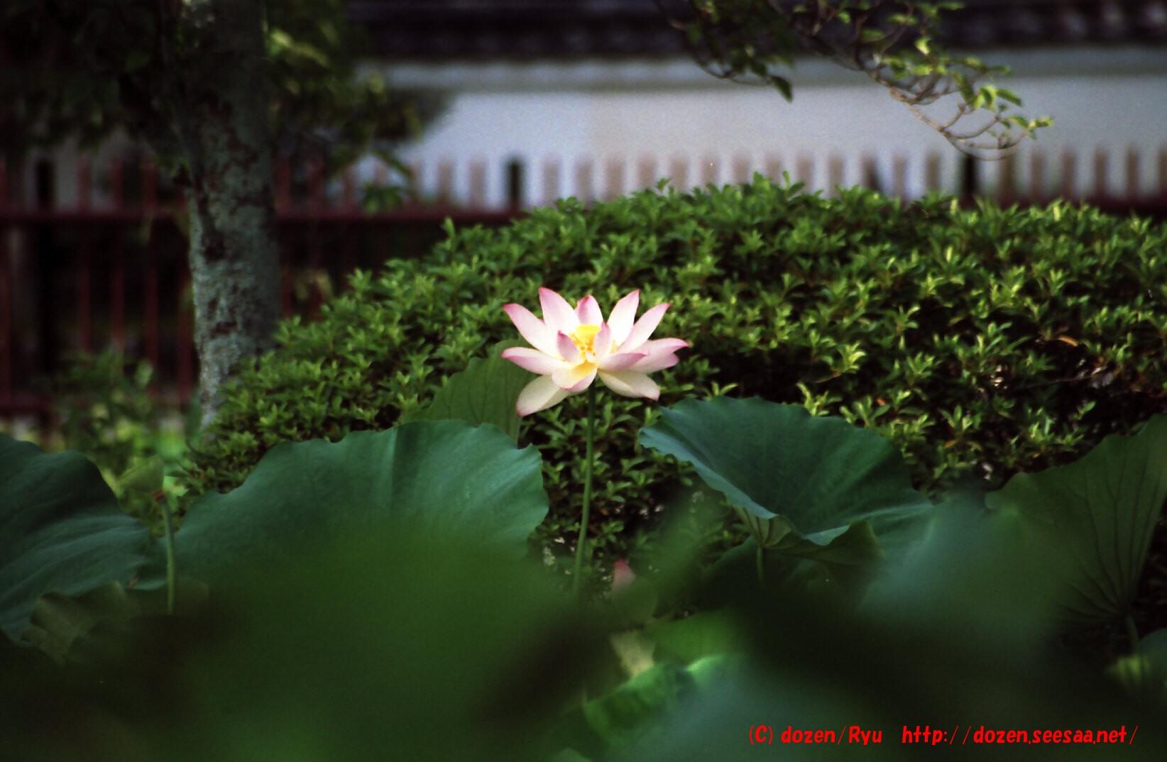 天竜寺の蓮3.jpg